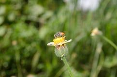 Bi och blomma Arkivbilder