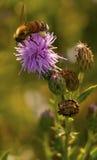 Bi och blomma i natur Arkivbilder