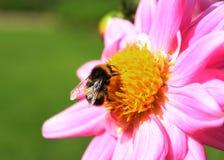 Bi och blommor Royaltyfria Foton