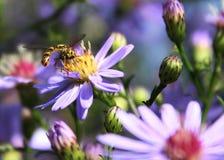 Bi och blommor Fotografering för Bildbyråer