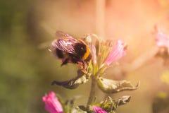 Bi och blommor royaltyfri fotografi
