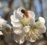 Bi och blomning royaltyfria foton