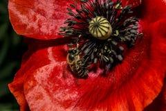 Bi och den röda blomman royaltyfri fotografi
