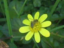 Bi och en blomma arkivfoto