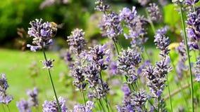 Bi och fjärilar i lavendelfältet som pollinerar blommor arkivfilmer