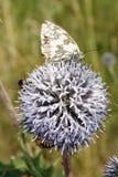 Bi- och fjärilssammanträde på blomman fotografering för bildbyråer