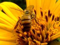 Bi och gulingblomma arkivfoton