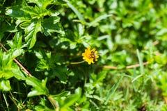 Bi och gulingblomma med grön tjänstledighetbakgrund Arkivfoto