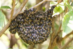 Bi och honungskaka på trädet arkivbilder