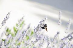 Bi och lavendel Arkivbilder