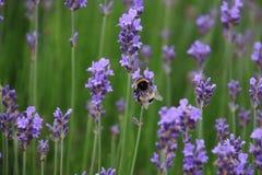 Bi och lavendel Fotografering för Bildbyråer