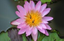 Bi och lotusblomma Arkivfoto