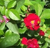 Bi och rosen Arkivfoton