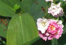 Bi och rosen Arkivbild