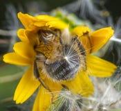 Bi och skalbagge på en blomma royaltyfri fotografi