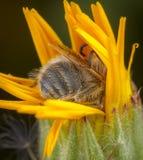Bi och skalbagge på en blomma arkivbild