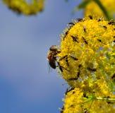 Bi och små flugor på fänkålblommor Fotografering för Bildbyråer