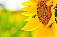 bi- och solblomma Arkivfoto