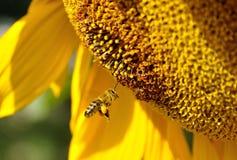 Bi och solros Fotografering för Bildbyråer