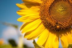 Bi och solros Arkivbilder
