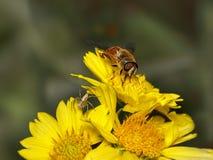 Bi och spyder på gula blommor royaltyfri foto