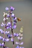 Bi och vildblommor Arkivbild