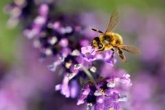 Bi på alavenderfilial Fotografering för Bildbyråer