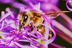 Bi på Alliumblomman Fotografering för Bildbyråer