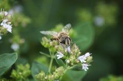 Bi på arbete på blomman på sommar för solig dag Arkivfoton