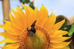 Bi på blomma arkivbild