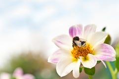 Bi på blomma royaltyfri fotografi