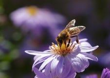 Bi på blomma Royaltyfri Bild