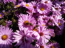 Bi på blomma royaltyfria foton