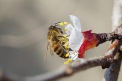 Bi på blomma Arkivfoto