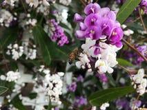 Bi på blomma Royaltyfria Bilder