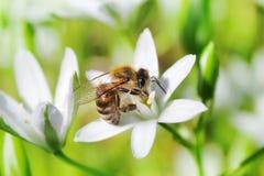 Bi på blomma Fotografering för Bildbyråer