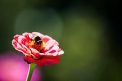 Bi på blomma Arkivbilder