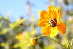 Bi på blomma arkivfoton