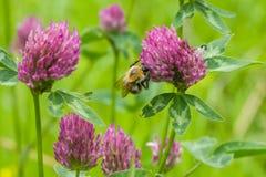 Bi på blommamakroen för röd växt av släktet Trifolium Royaltyfria Bilder