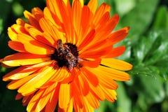 Bi på blomman fotografering för bildbyråer