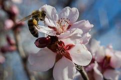 Bi på blomman Royaltyfria Bilder
