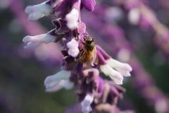 Bi på blomman Arkivfoto