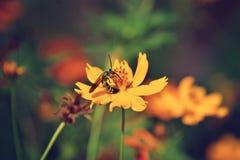 Bi på blomman av coreopsis Fotografering för Bildbyråer
