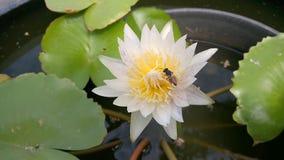 Bi på blomman för vit lotusblomma stock video