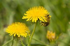 Bi på blomman i trädgård Fotografering för Bildbyråer