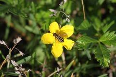 Bi på blomman ut ur Seward Alaska Arkivfoto