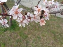 Bi på blommande trädfilial Fotografering för Bildbyråer