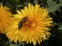 Bi på blommaTaraxacum Fotografering för Bildbyråer