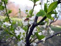 Bi på blommor av vita körsbär i vår royaltyfri fotografi