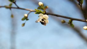 Bi på blomningen för körsbärsrött träd, vårtid lager videofilmer